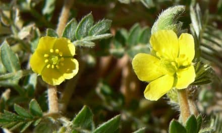 Women Benefit From Tribulus Terrestris